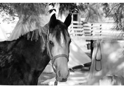 Confederate Calvery Horse